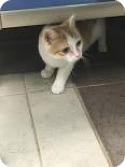Domestic Shorthair Cat for adoption in Columbus, Georgia - Sydney 0230