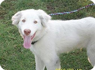 Great Pyrenees/Australian Shepherd Mix Puppy for adoption in Tulsa, Oklahoma - Luke  *Adopted