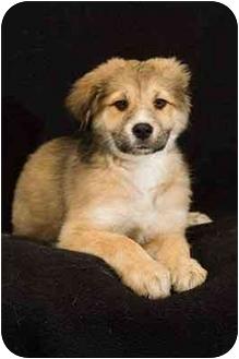 portland or golden retriever meet zada a dog for adoption