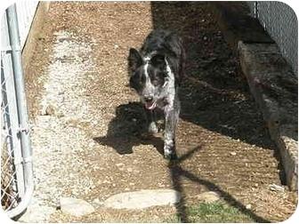 Border Collie Dog for adoption in Meridian, Idaho - Wilson