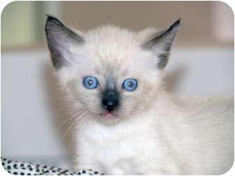 Siamese Kitten for adoption in La Jolla, California - Bailey