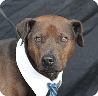 Labrador Retriever/Weimaraner Mix Dog for adoption in Plano, Texas - Brownie