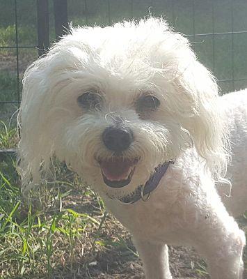 Wichita, KS - Bichon Frise  Meet Cotton a Pet for Adoption