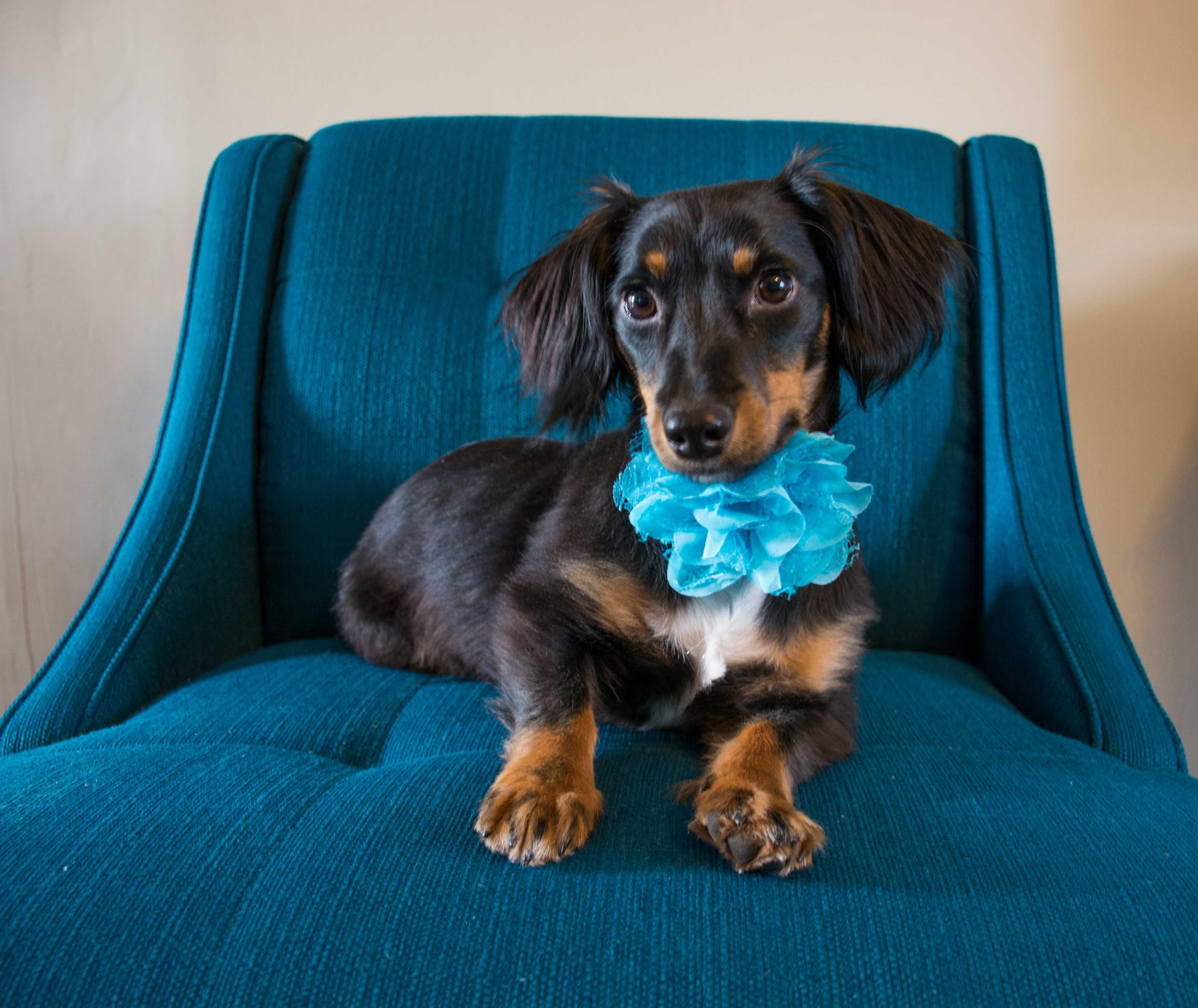 Cincinnati, OH - Dachshund. Meet Didi a Dog for Adoption.
