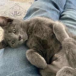 Russian Blue Kittens For Sale In Cincinnati Ohio Adoptapet Com