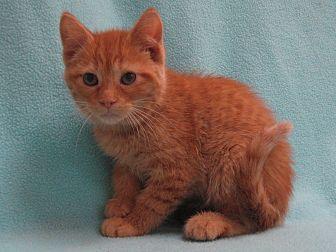 Domestic Shorthair Kitten for adoption in Redwood Falls, Minnesota - Thumper