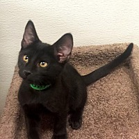 Adopt A Pet :: Lennox - Chino Hills, CA