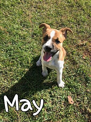 Mobile, AL - Boxer  Meet May a Pet for Adoption