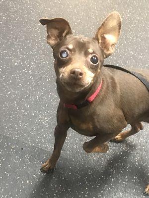 Reno Nv Miniature Pinscher Meet Coco A Pet For Adoption