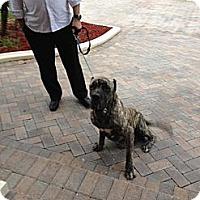 Adopt A Pet :: Harvey - miami beach, FL