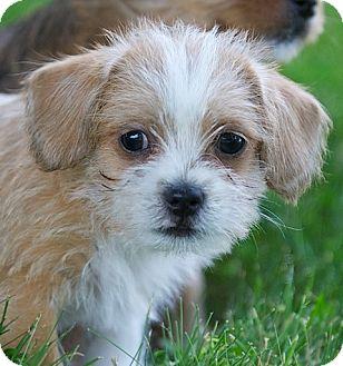 Providence Ri Shih Tzu Meet Pnut A Pet For Adoption