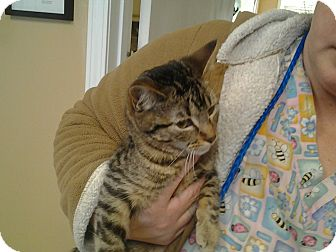 Domestic Shorthair Kitten for adoption in Memphis, Tennessee - Mia