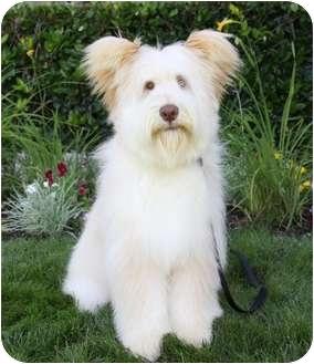 Briard Meet Timothy A Pet For Adoption