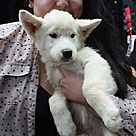 Adopt A Pet :: Eskie/Husky Blizzard