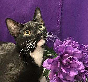 Domestic Shorthair Kitten for adoption in Oviedo, Florida - Jessie