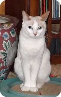 Siamese Cat for adoption in Salem, Oregon - Moji