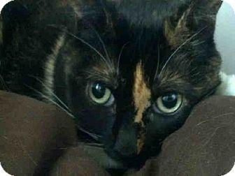 Domestic Mediumhair Cat for adoption in San Clemente, California - MONKEY