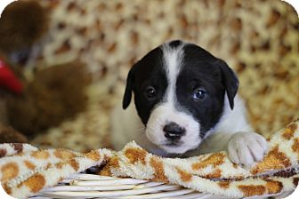 Jack Russell Terrier/Corgi Mix Puppy for adoption in Waldorf, Maryland - Elvis