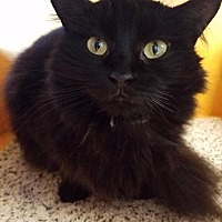 Domestic Longhair Cat for adoption in Fort Myers, Florida - Robyn