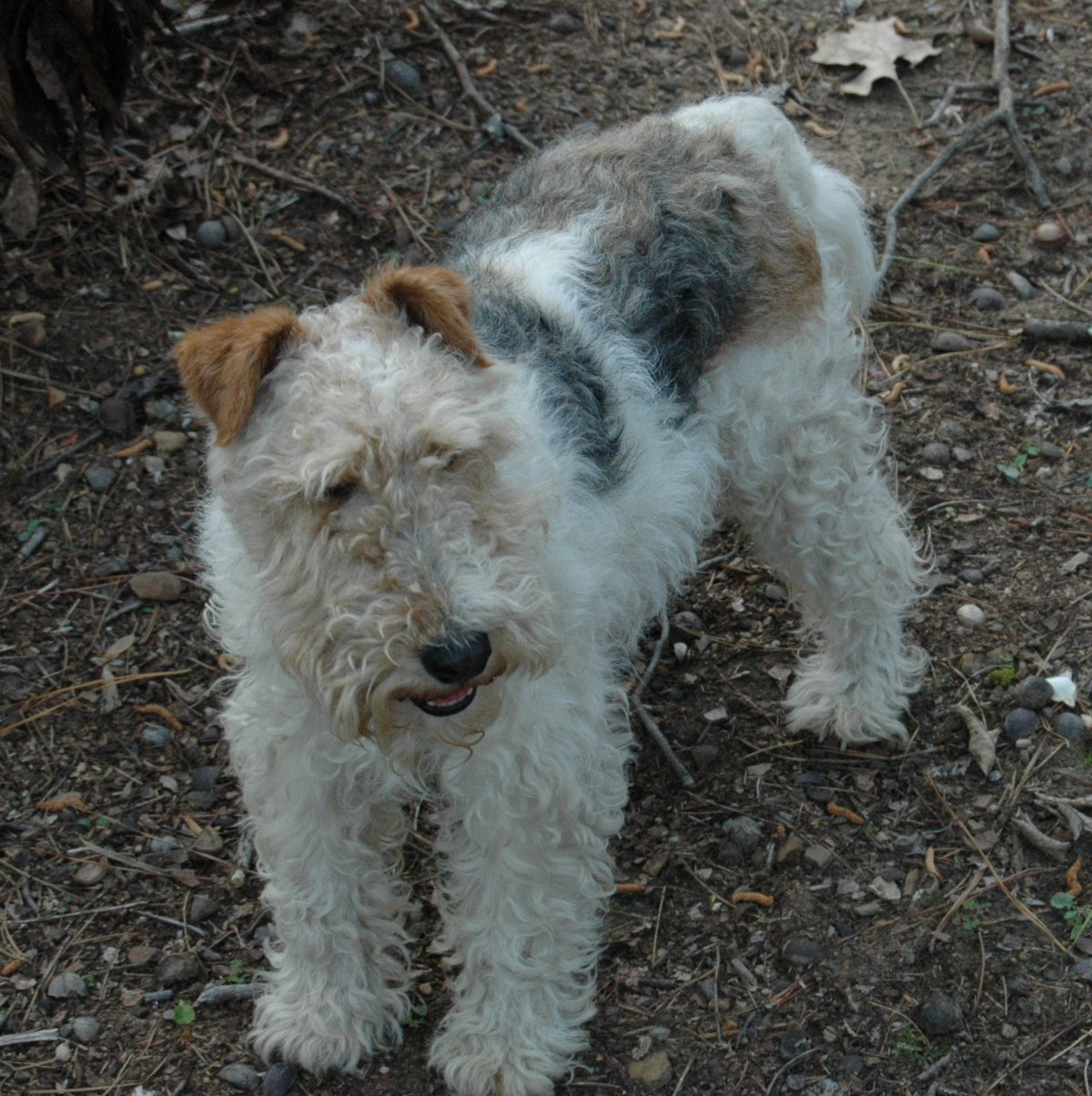 Hoover, AL - Fox Terrier (Wirehaired). Meet Digsby a Dog for Adoption.