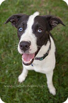 Collie Dog As A Pet