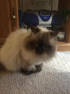 Himalayan cat rescue ny