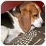 Photo 4 - Beagle Dog for adoption in Latrobe, Pennsylvania - Duke
