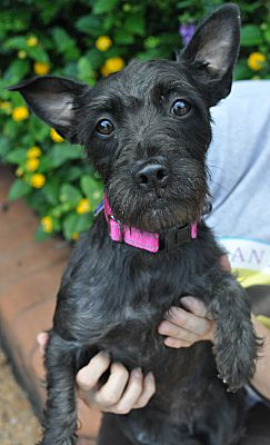 Atlanta Ga Scottie Scottish Terrier Meet Hannah A Pet For Adoption