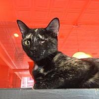 Adopt A Pet :: Xandeau - St. Louis, MO