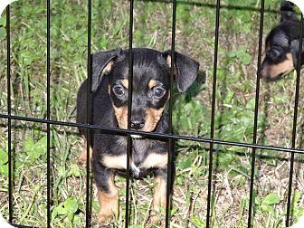 Wilminton De Chihuahua Meet Rottie A Pet For Adoption