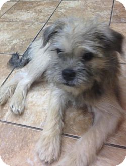 wheaten terrier rescue ohio lancaster oh wheaten terrier meet ben a pet for adoption 2419