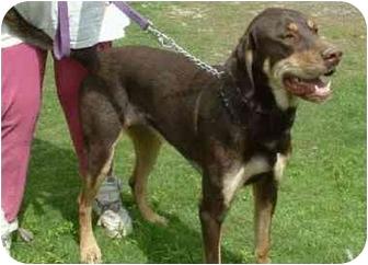 Makinen Mn Great Dane Meet Jak A Pet For Adoption