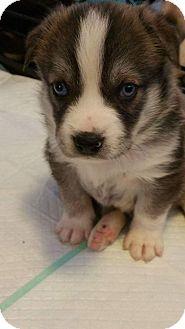 Australian Shepherd/Labrador Retriever Mix Puppy for adoption in Silver Spring, Maryland - GABRIELLE