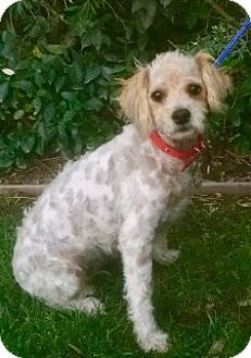 Poodle (Miniature) Mix Dog for adoption in San Diego, California - GRACIE