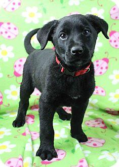 Labrador Retriever Mix Puppy for adoption in Westminster, Colorado - Bob