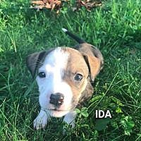 Adopt A Pet :: Ida - Boston, MA