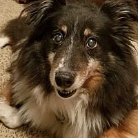 Central Ohio Sheltie Rescue Inc In Columbus Ohio