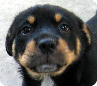 Oakley CA Terrier Unknown Type Small Meet Baby Watson A Dog - Terrier and rottweiler