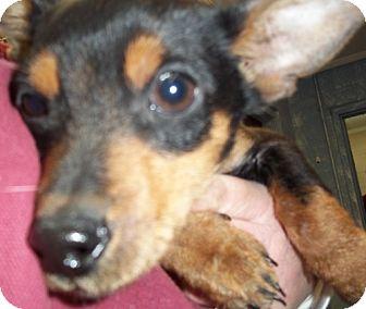 Miniature Pinscher Mix Puppy for adoption in Greenville, Kentucky - Corey