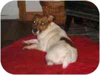 Jack Russell Terrier Dog for adoption in Warren, New Jersey - Ella