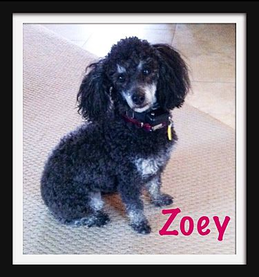 Iowa, Illinois and Wisconsin, IA - Miniature Poodle  Meet Zoey a Pet