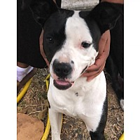American Pit Bull Terrier Puppies for Sale - Adoptapet com