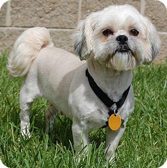 London Ky Shih Tzu Meet Maddie A Pet For Adoption