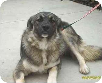 Norwegian Elkhound Dogs For Adoption