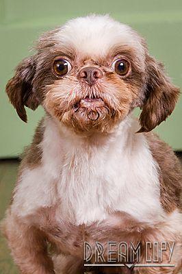 Owensboro Ky Shih Tzu Meet Riggs A Pet For Adoption