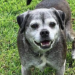 Pug Puppies for Sale in Hampton Virginia - Adoptapet com