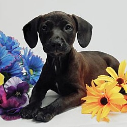 Puppies for Sale in Champaign Illinois - Adoptapet com