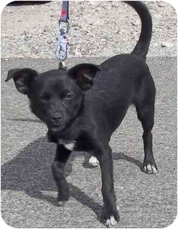 Chihuahua/Labrador Retriever Mix Puppy for adoption in Las Vegas, Nevada - Alice