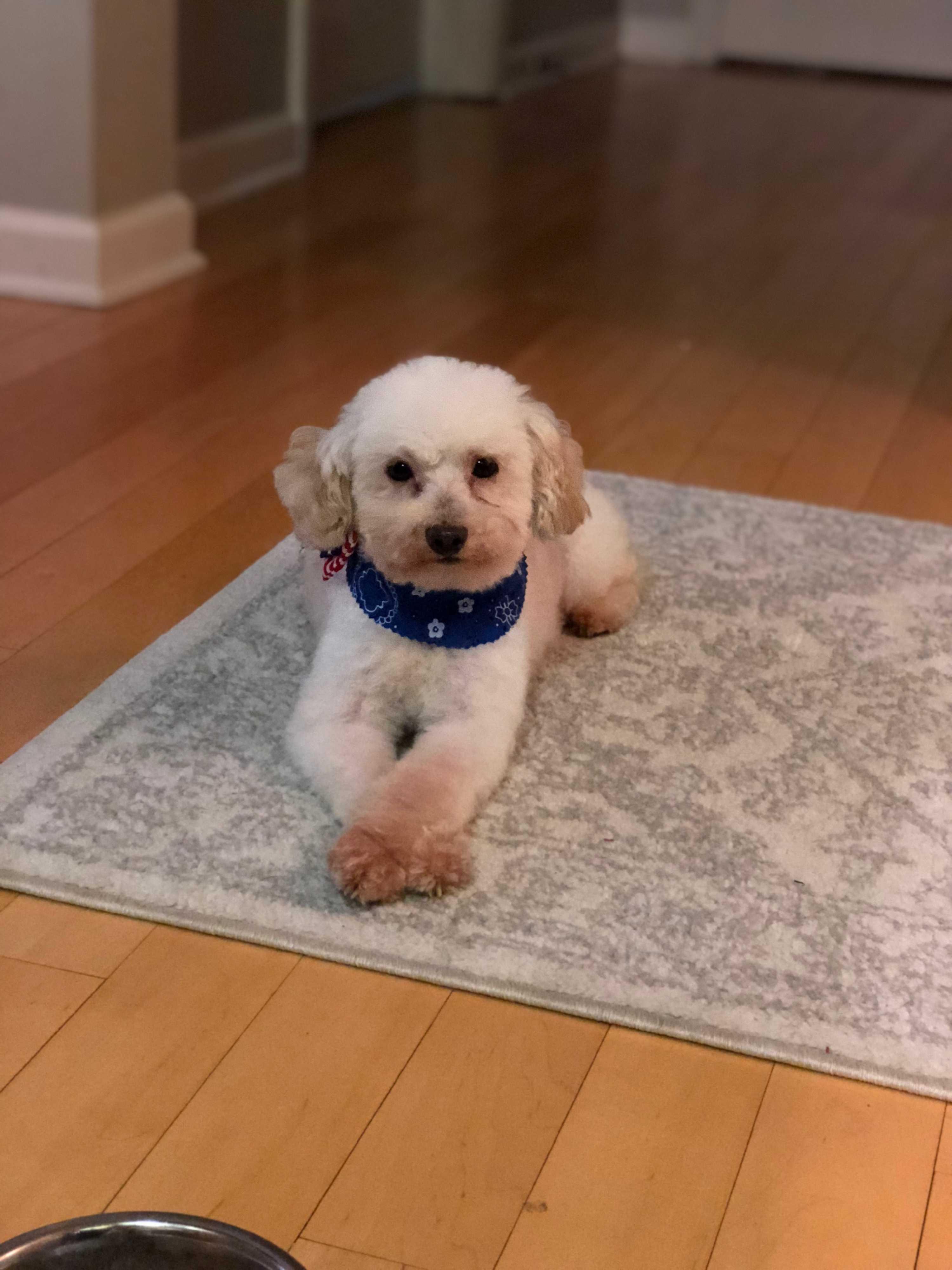 Nashville Tn Miniature Poodle Meet Ollie A Pet For Adoption