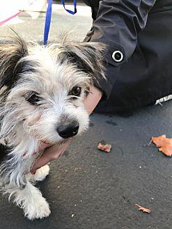 Adopt A Pet :: Petey  - Renton, WA